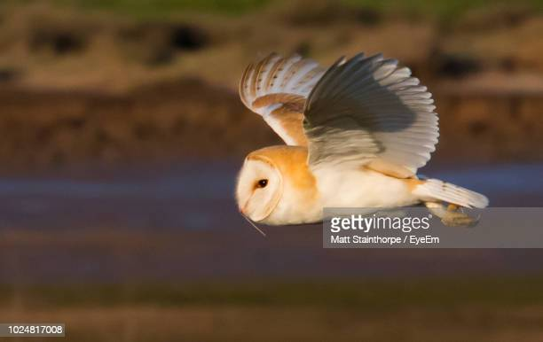 close-up of barn bowl flying outdoors - barn owl stock pictures, royalty-free photos & images