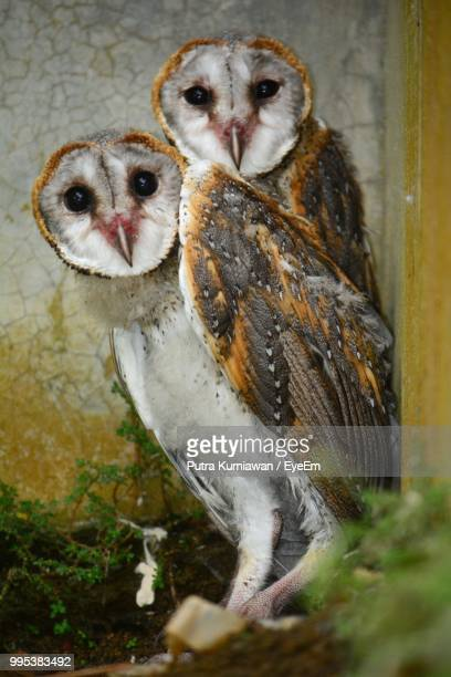 close-up of barn owls perching on stick - barn owl stock pictures, royalty-free photos & images