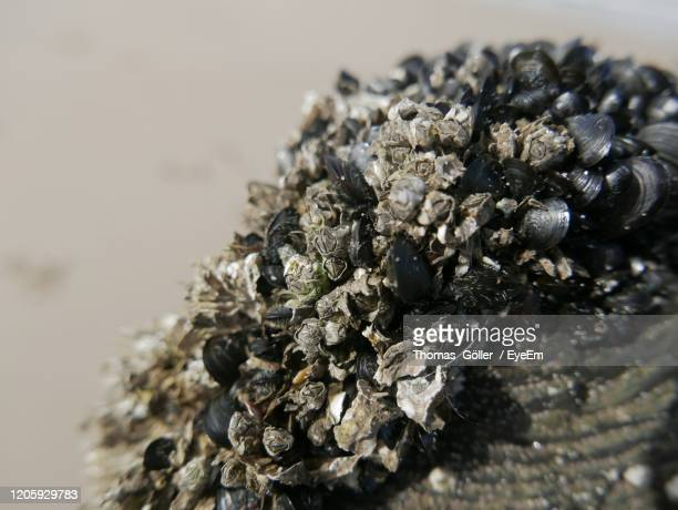 close-up of barnacles - barnacle stock pictures, royalty-free photos & images