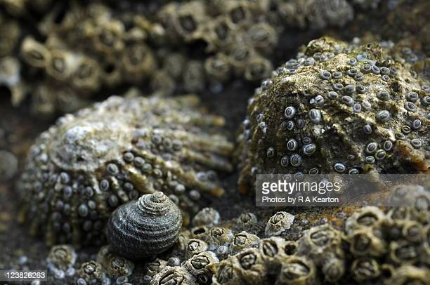 close-up of barnacles - limpet stock photos and pictures