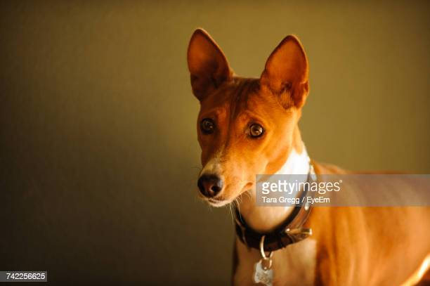 Close-Up Of Basenji Dog Looking Away While Standing Against Wall