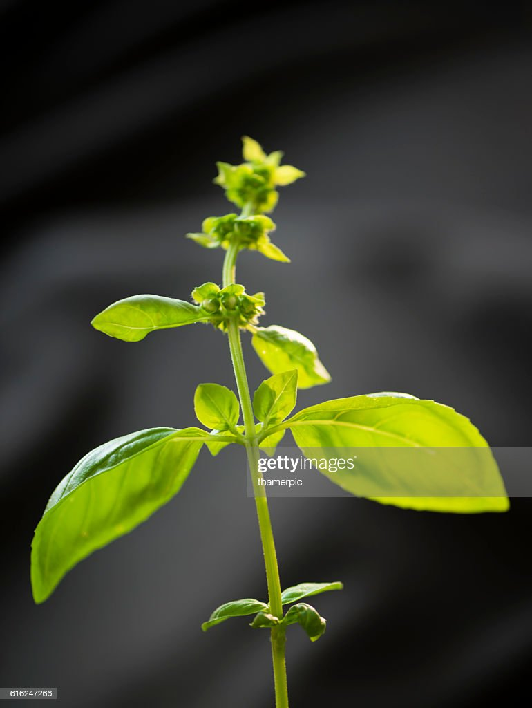 Close-up of Basil herb plant : Stock Photo