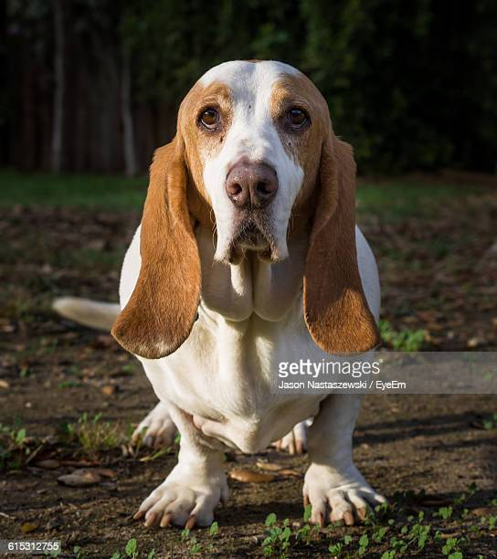 close-up of basset hound on field - basset hound stock pictures, royalty-free photos & images