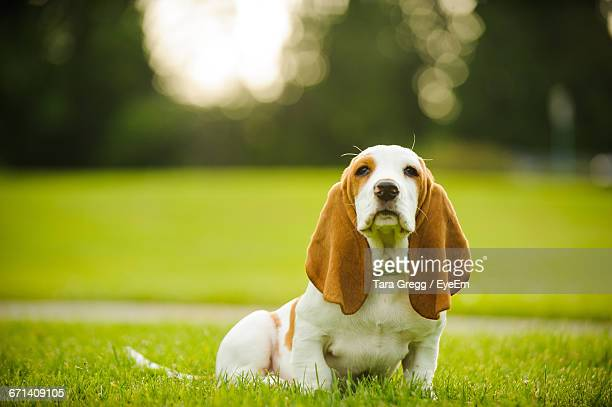 close-up of basset hound sitting on grass - basset hound stock pictures, royalty-free photos & images