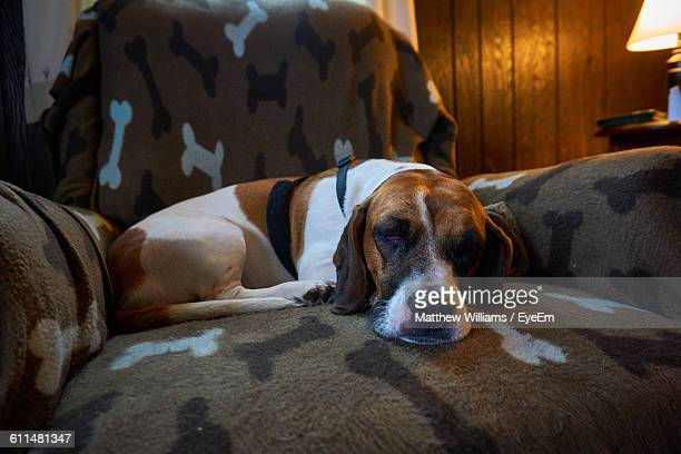 Close-Up Of Basset Hound Sleeping On Armchair At Home