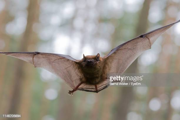 close-up of bat flying in mid-air - bat animal stock pictures, royalty-free photos & images