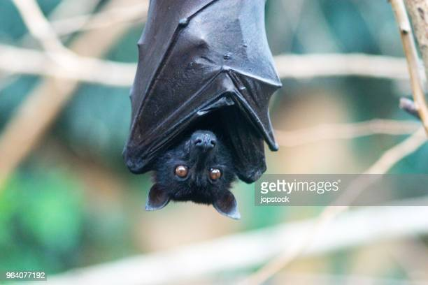 close-up of bat hanging on tree - bat animal stock photos and pictures