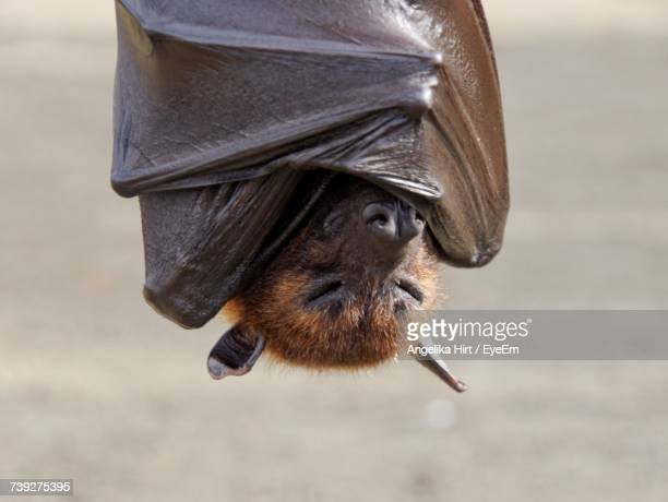close-up of bat - bat animal stock pictures, royalty-free photos & images