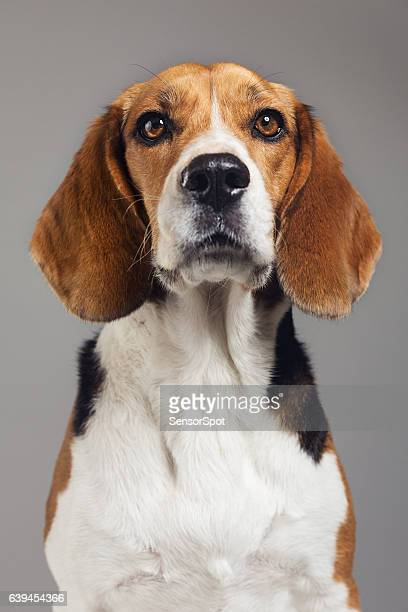 close-up of beagle against gray background - hound stock pictures, royalty-free photos & images