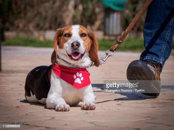 close-up of beagle lying on footpath - bandana stock pictures, royalty-free photos & images