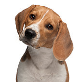 Close-up of Beagle puppy, 6 months old, white background.