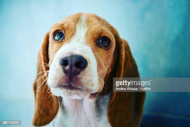 Close-Up Of Beagle Puppy Against Sky