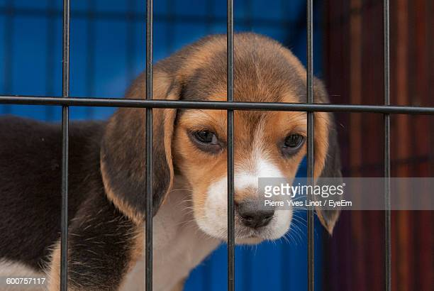 close-up of beagle puppy in cage - homeless shelter stock pictures, royalty-free photos & images