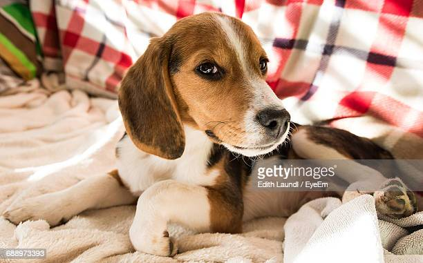 Close-Up Of Beagle Puppy Lying On Bed At Home