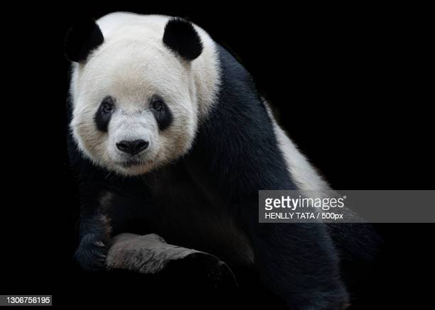 close-up of bear against black background - animal stock pictures, royalty-free photos & images