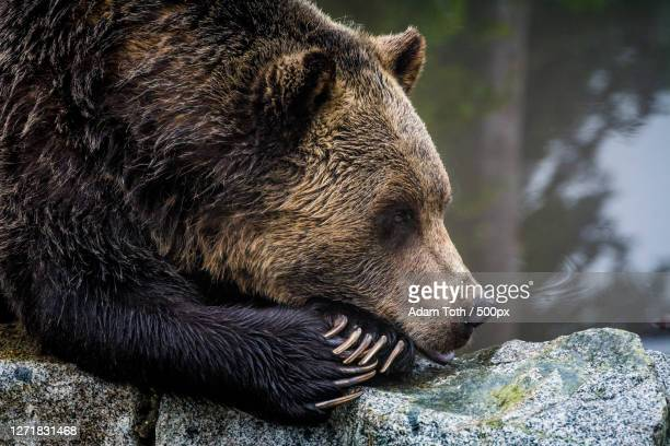 close-up of bear by lake, west end, canada - animals in the wild stock pictures, royalty-free photos & images