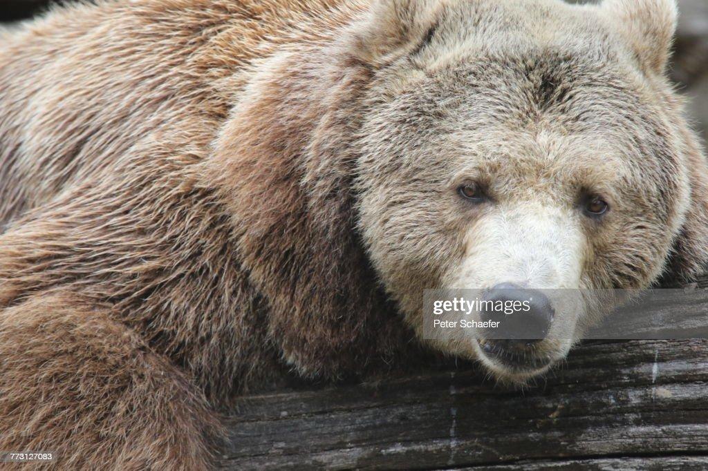 Close-Up Of Bear : Stockfoto