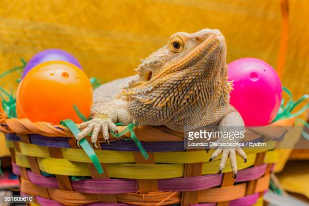 close-up of bearded dragon in basket - bearded dragon stock photos and pictures
