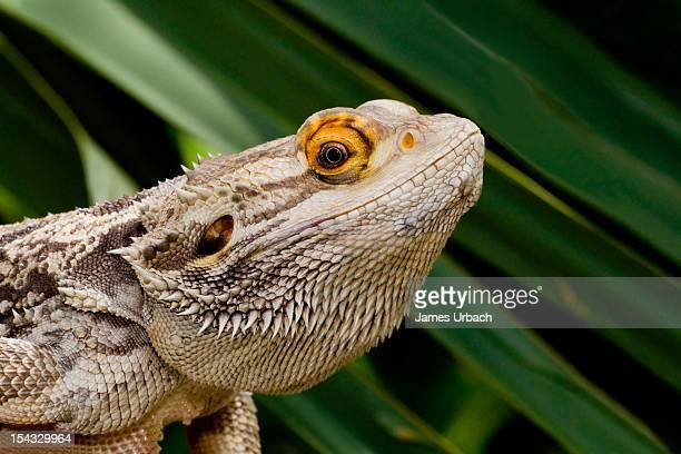Close-up of Bearded Dragon lizard (Pogona vitticeps)