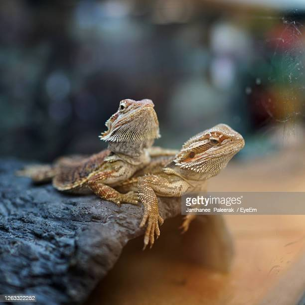close-up of bearded dragon on a rock - bearded dragon stock pictures, royalty-free photos & images