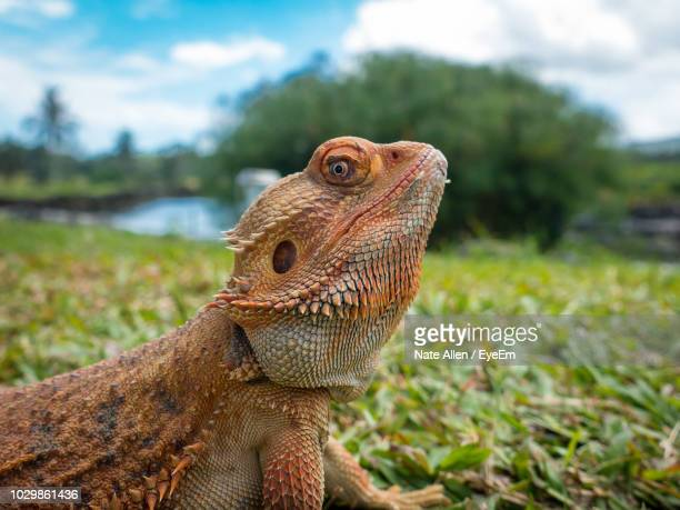 close-up of bearded dragon on grassy field - bearded dragon stock pictures, royalty-free photos & images
