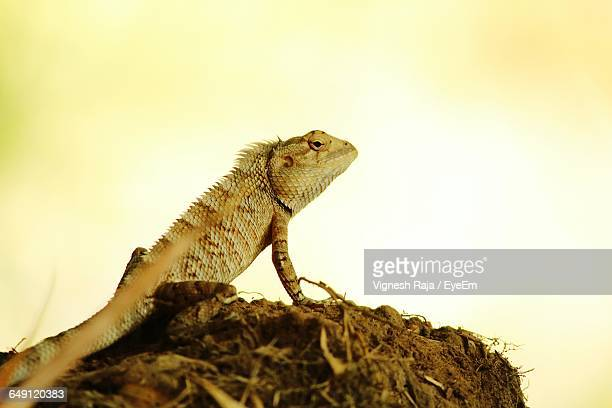 Close-Up Of Bearded Dragon On Rock Against Sky