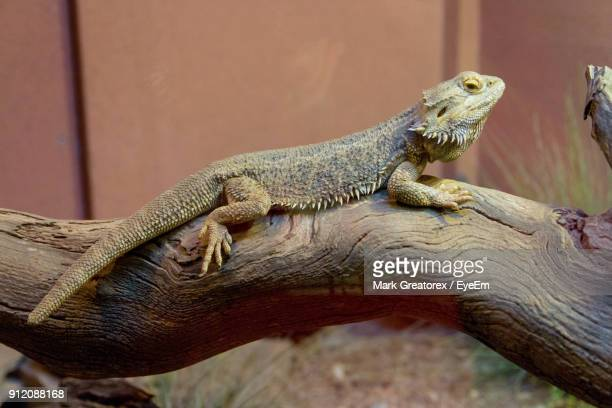 close-up of bearded dragon on tree trunk - bearded dragon stock photos and pictures