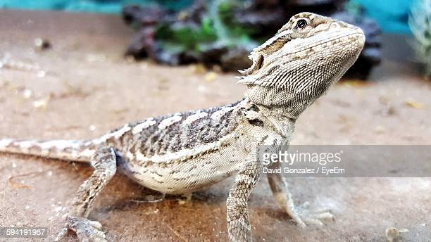 close-up of bearded dragon - bearded dragon stock pictures, royalty-free photos & images