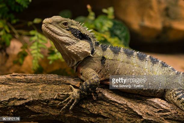 Agamidae getty images close up of bearded dragon voltagebd Choice Image