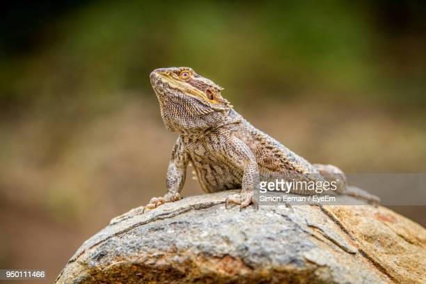 close-up of bearded dragon - bearded dragon stock photos and pictures