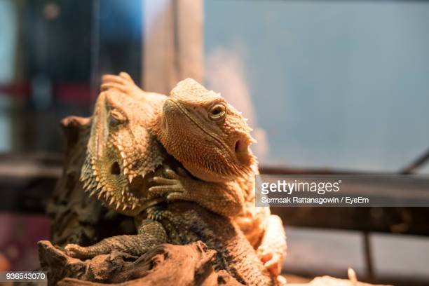 close-up of bearded dragons in glass tank - bearded dragon stock photos and pictures