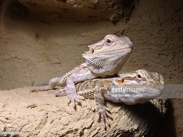 Close-Up Of Bearded Dragons Mating On Stone