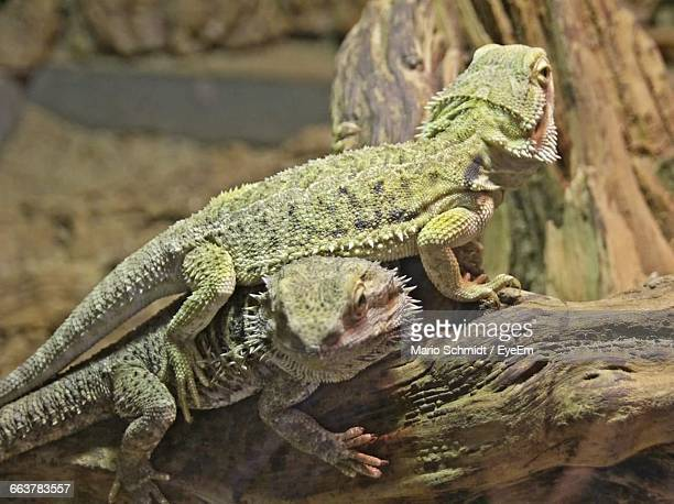 Close-Up Of Bearded Dragons On Wood