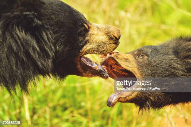 Close-Up Of Bears Fighting On Grassy Field