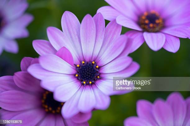 close-up of beautiful purple daisies. - extreme close up stock pictures, royalty-free photos & images