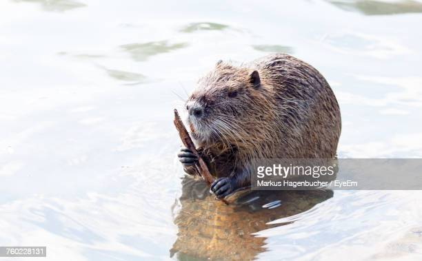 Close-Up Of Beaver In Water