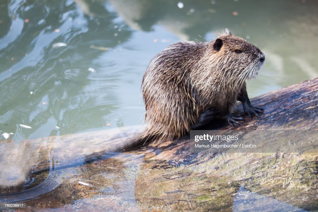 Close-Up Of Beaver On Wood In Water : Stock Photo