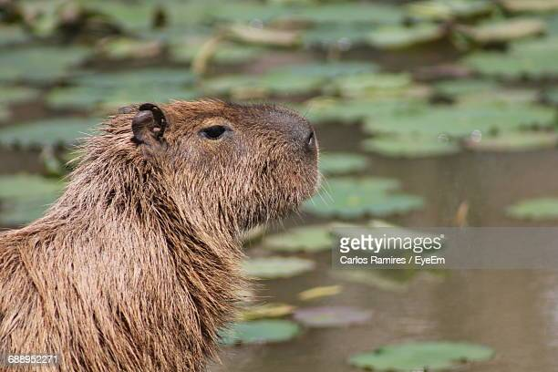Close-Up Of Beaver