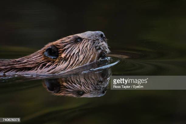 Close-Up Of Beaver Swimming In Lake