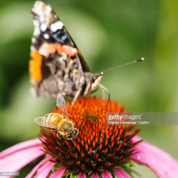 Close-Up Of Bee And Butterfly On Eastern Purple Coneflower