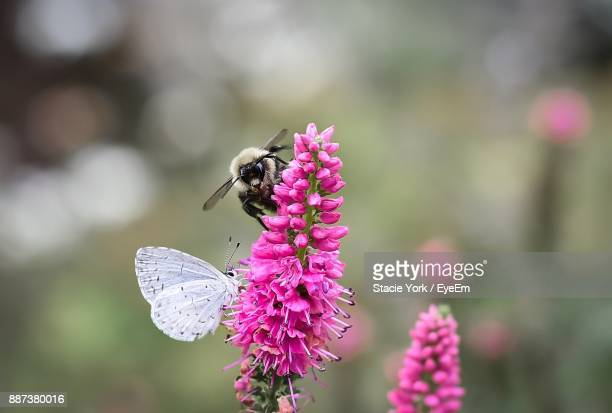 close-up of bee and butterfly on pink flower - symbiotic relationship stock pictures, royalty-free photos & images