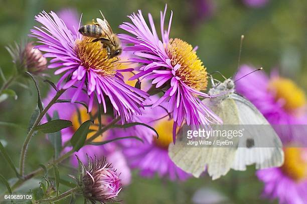 Close-Up Of Bee And Butterfly Pollinating On Pink Flowers