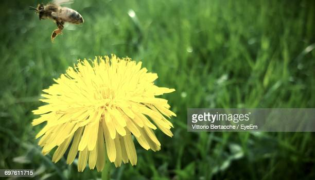 Close-Up Of Bee And Yellow Flower