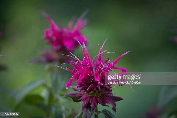 Close-Up Of Bee Balm Flowers Blooming At Park