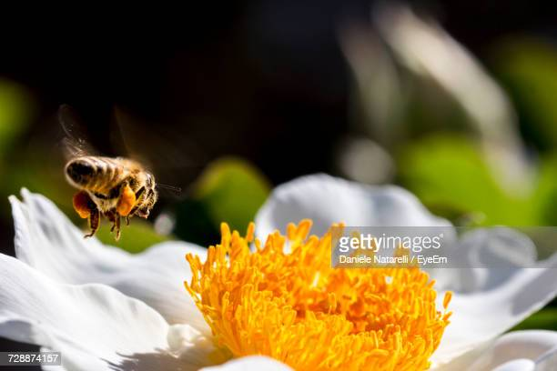 Close-Up Of Bee Buzzing