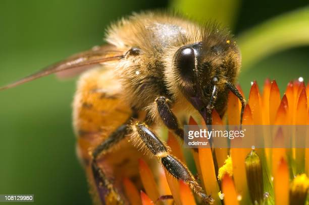 Close-up of Bee Collecting Pollen on Flower