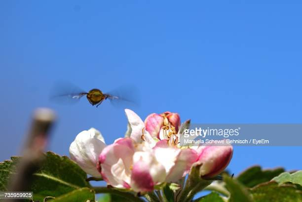 Close-Up Of Bee Flying Over Apple Blossoms Against Clear Blue Sky