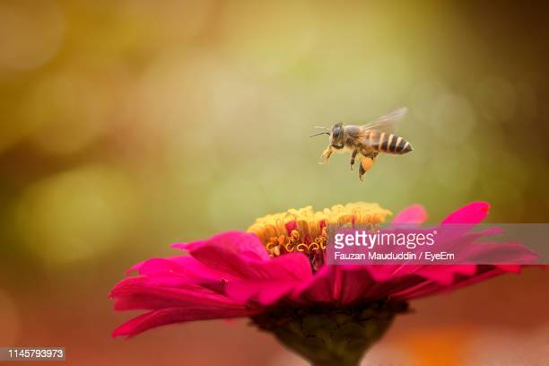 close-up of bee flying over pink flower - honey bee stock pictures, royalty-free photos & images