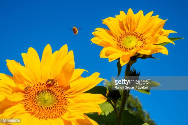 Close-Up Of Bee Flying Over Sunflower Against Clear Blue Sky