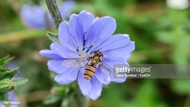Close-Up Of Bee On Blue Flower